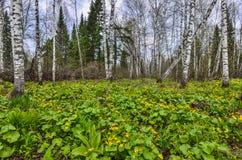 El claro del bosque del abedul de la primavera con la maravilla de pantano amarilla florece el Ca Fotos de archivo libres de regalías
