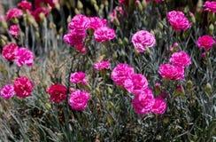 El clavel crece en jardín imagen de archivo