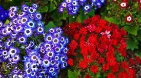 El clavel florece el azul rojo del verano Foto de archivo libre de regalías