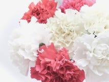 El clavel hermoso florece el ramo Imagenes de archivo