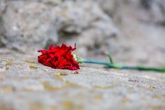 El clavel rojo Fotos de archivo libres de regalías