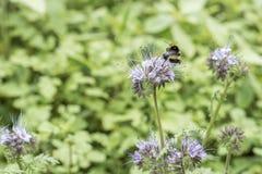 El closeu del abejorro manosea la abeja en la planta de miel del tanacetifolia de Phacelia para las abejas y el insecto Imágenes de archivo libres de regalías