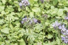 El closeu del abejorro manosea la abeja en la planta de miel del tanacetifolia de Phacelia para las abejas y el insecto Imagenes de archivo