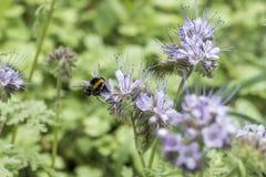 El closeu del abejorro manosea la abeja en la planta de miel del tanacetifolia de Phacelia para las abejas y el insecto Fotos de archivo