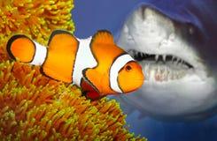El clownfish y el tiburón que ataca. imagenes de archivo