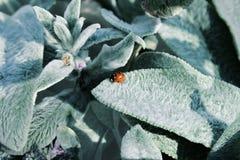 El Coccinellidae se sienta en la planta Fotografía de archivo