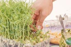 El cocinero rasga los brotes de los granos germinados para cocinar la comida vegetariana de la dieta foto de archivo libre de regalías