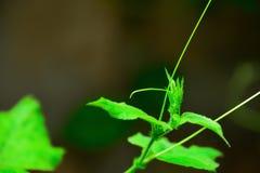 El Cockatiel es una planta bienal que es haber crecido fácil y ningunos enemigos Imágenes de archivo libres de regalías
