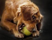 El cocker España está jugando con la bola del tennit Muy lindo y precioso de oro Inteligente y lealtad imagen de archivo