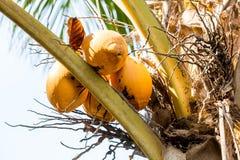 El coco anaranjado Imagen de archivo