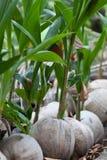 El coco brota listo para germinar Fotos de archivo