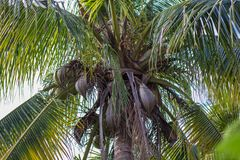 El coco es beneficioso al cuerpo fresco del jardín fotos de archivo