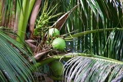 El coco está en el árbol en Tailandia imágenes de archivo libres de regalías