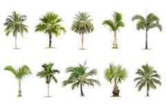 El coco y las palmeras aislaron el ?rbol en el fondo blanco, la colecci?n de ?rboles Los ?rboles grandes est?n creciendo en veran libre illustration