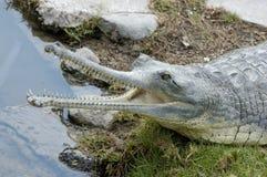 El cocodrilo abierto muere foto de archivo