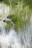 El cocodrilo acecha pacientemente en el pantano Imagen de archivo libre de regalías
