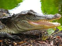El cocodrilo de Tejas con los mandíbulas se abre Imagen de archivo