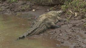 El cocodrilo del Orinoco en los llanos del río ejerce la actividad bancaria, Colombia almacen de video