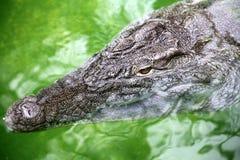 El cocodrilo está esperando silenciosamente Foto de archivo libre de regalías