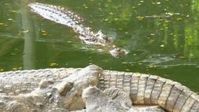 El cocodrilo nada en el agua pantanosa verde Muddy Swampy River tailandia asia metrajes