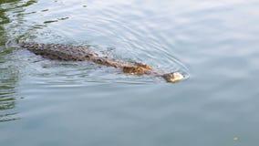 El cocodrilo nada en el agua pantanosa verde Muddy Swampy River tailandia asia almacen de video