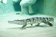 El cocodrilo nada en un acuario en un parque zoológico Imagenes de archivo