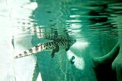 El cocodrilo nada en un acuario en un parque zoológico Foto de archivo
