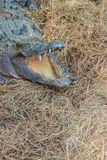 El cocodrilo salvaje que pone los huevos en el cocodrilo de la jerarquía de la paja es freza Fotografía de archivo