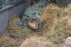 El cocodrilo salvaje que pone los huevos en el cocodrilo de la jerarquía de la paja es freza Foto de archivo libre de regalías