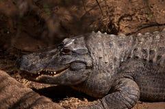 El cocodrilo sonriente Foto de archivo libre de regalías