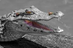 El cocodrilo sonriente y las moscas Imagen de archivo libre de regalías