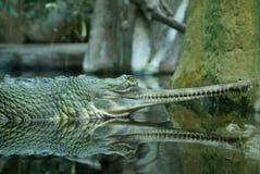 El cocodrilo verde Imagen de archivo libre de regalías