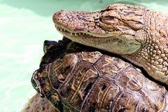 El cocodrilo y la tortuga Imagenes de archivo