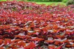 El coleo y Plectranthus sean fucsia hermoso del hril Fotografía de archivo