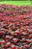 El coleo y Plectranthus sean fucsia hermoso del hril Fotografía de archivo libre de regalías