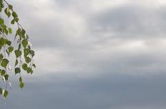 El colgante ramifica con verde mojó las hojas contra las nubes de lluvia Imágenes de archivo libres de regalías