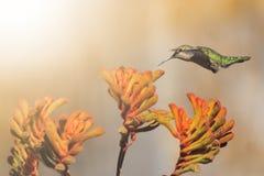 El colibrí de Ana que alimenta en Honeysuckle Flowers Fotografía de archivo libre de regalías