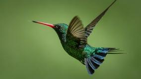 El colibrí prueba el aire imagen de archivo libre de regalías