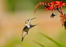 El colibrí rufo y el abejorro que observan en Crocosmia florece. Foto de archivo libre de regalías