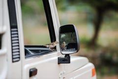 El colibrí se sienta en una puerta del coche Imagen de archivo