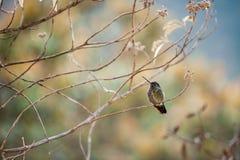 El colibrí se sienta en una rama en un fondo colorido de las manchas del color del follaje Imágenes de archivo libres de regalías