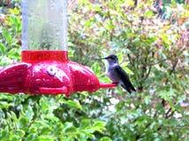 El colibrí visita el alimentador Imagenes de archivo