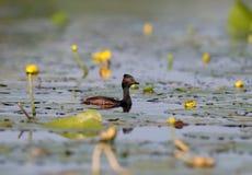 El colimbo necked negro flota en el agua azul rodeada por las plantas acuáticas Fotos de archivo libres de regalías