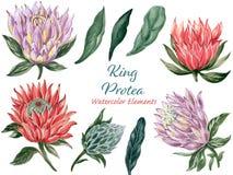 El collage botánico con el protea y el verde de rey sale del ele de las ramas stock de ilustración