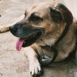 El colmillo de Chow del perro cortó el animal doméstico animal imagen de archivo libre de regalías