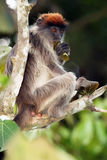 El colobussitting rojo del Ugandan en la rama Fotos de archivo