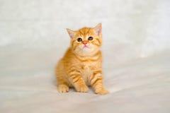 El color berrendo de la capa del pequeño gatito rojo Imagenes de archivo