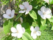 El color blanco de los árboles de membrillo Fotografía de archivo