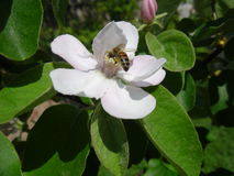 El color blanco de los árboles de membrillo Imagen de archivo