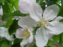 El color blanco de los manzanos Fotografía de archivo